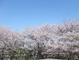 toyamakouen_sakura